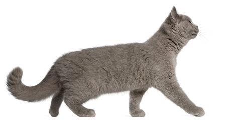 gato gris: Brit�nico de Pelo Corto gatito, 3 meses de edad, caminaba delante de fondo blanco