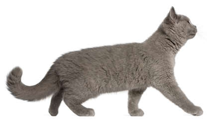 british shorthair: British Shorthair kitten, 3 months old, walking in front of white background