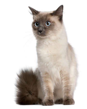 ragdoll: Ragdoll cat, 15 months old, sitting in front of white background Stock Photo