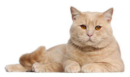 british shorthair: British Shorthair cats, 1 year old, lying in front of white background