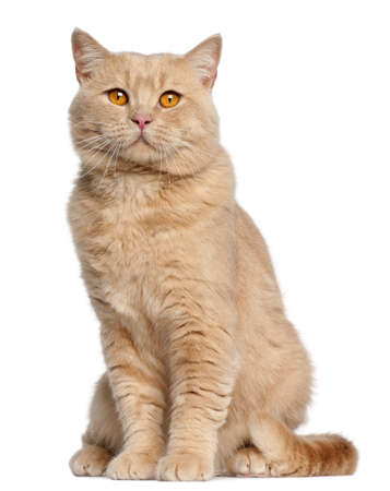purebred cat: British Shorthair cat, 1 year old, sitting in front of white background