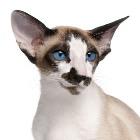 blue siamese cat: Siamese cat, 7 months old, headshot in front of white background Stock Photo