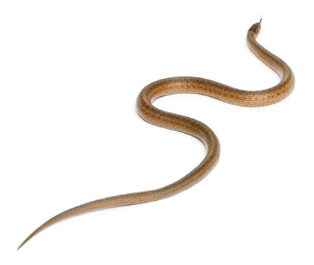 slithering: Smooth snake, Coronella austriaca, in front of white background