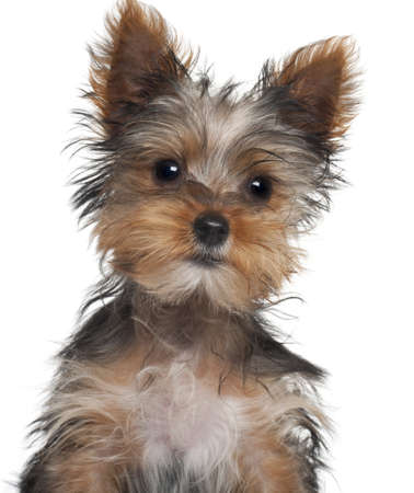 Yorkshire Terrier puppy, 8 weeks old, in front of white background Stock Photo