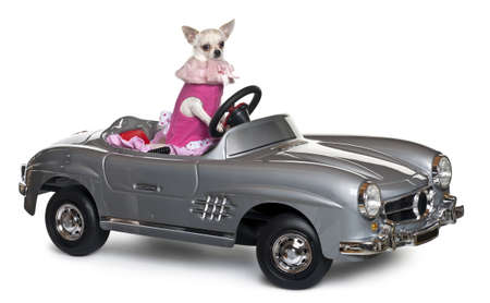 Chihuahua, 18 months old, driving a convertible in front of white background Stock Photo - 11184308