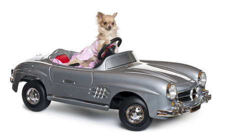 Chihuahua, 11 months old, driving a convertible in front of white background Stock Photo - 11183400