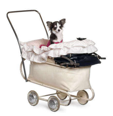 Chihuahua, 1 year old, in baby stroller in front of white background Stock Photo - 11188201