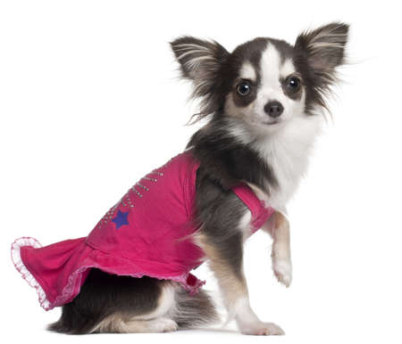 Chihuahua in pink, 1 year old, sitting in front of white background photo