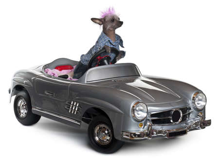 Chinese Crested dog driving convertible in front of white background photo