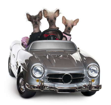 car front view: Chinese Crested dogs driving convertible in front of white background
