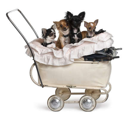 Four Chihuahuas sitting in baby stroller in front of white background photo