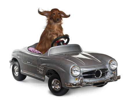 windblown: Dachshund, 3 years old, driving convertible in front of white background Stock Photo