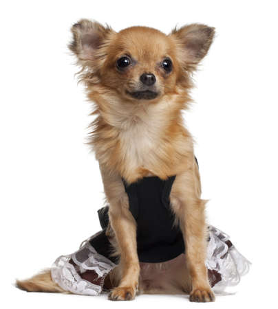 Chihuahua puppy wearing dress, 6 months old, sitting in front of white background photo
