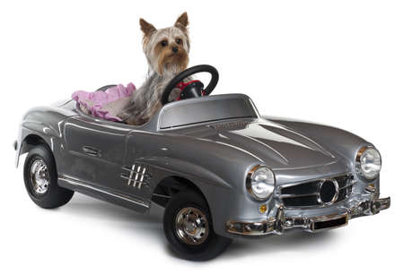 Yorkshire Terrier, 1 year old, driving convertible in front of white background photo