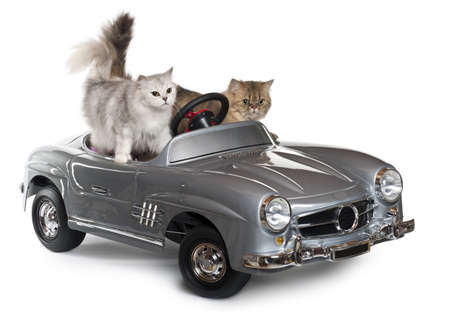 purebred cat: Persian cat, 1 year old, and Norwegian Forest Cat, 5 years old, driving convertible in front of white background