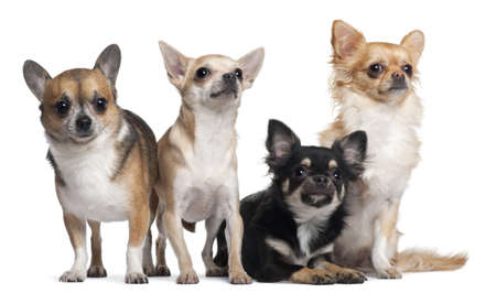 3 6 months: Four Chihuahuas, 6 months old, 3 years old, and 2 years old, in front of white background Stock Photo