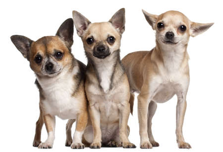 Three Chihuahuas, 6 months old, 3 years old, and 2 years old, in front of white background photo