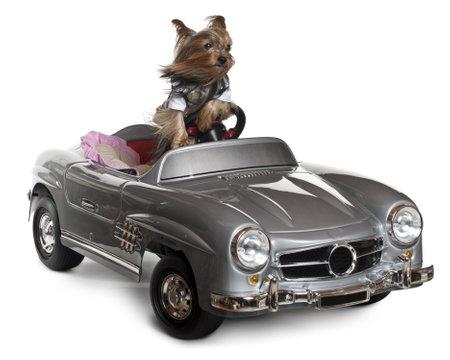 perros vestidos: Yorkshire Terrier, 3 a�os de edad, conduciendo convertibles delante de fondo blanco Foto de archivo