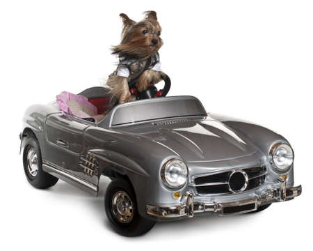Yorkshire Terrier, 3 years old, driving convertible in front of white background photo