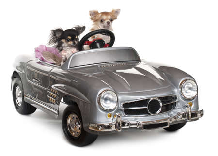 animal themes: Chihuahuas, 1 and 3 years old, driving convertible in front of white background