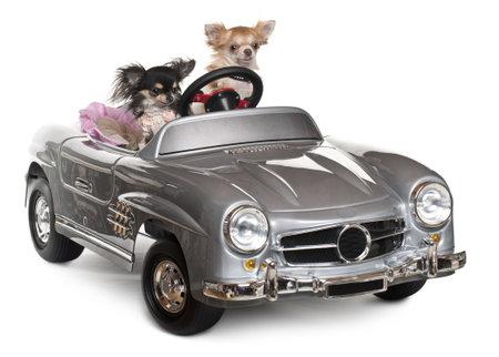 perros vestidos: Chihuahuas, 1 y 3 años de edad, conduciendo convertibles delante de fondo blanco