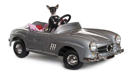 Chihuahua, 7 months old, driving convertible in front of white background photo