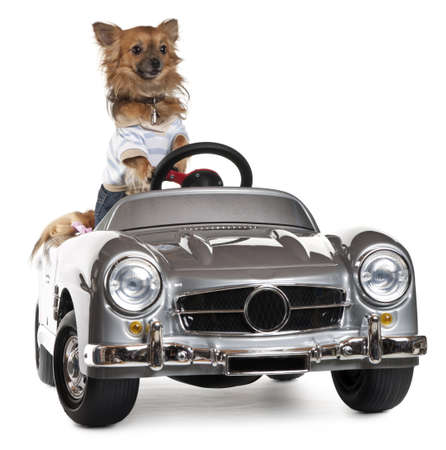 Dressed up Chihuahua driving convertible in front of white background photo