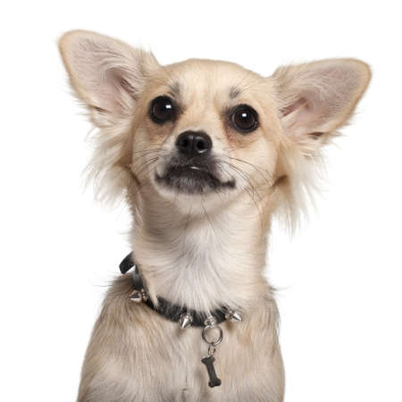 Close-up of Chihuahua, 10 months old, in front of white background photo