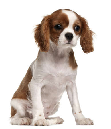 Cavalier King Charles Spaniel puppy, 3 months old, sitting in front of white background photo