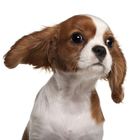 pups: Close-up of Cavalier King Charles Spaniel puppy, 3 months old,  in front of white background