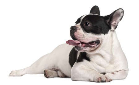 lying on side: French Bulldog, 8 months old, lying in front of white background Stock Photo