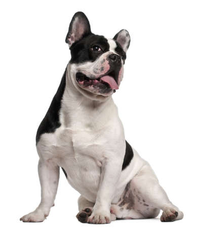 French Bulldog, 8 months old, sitting in front of white background photo