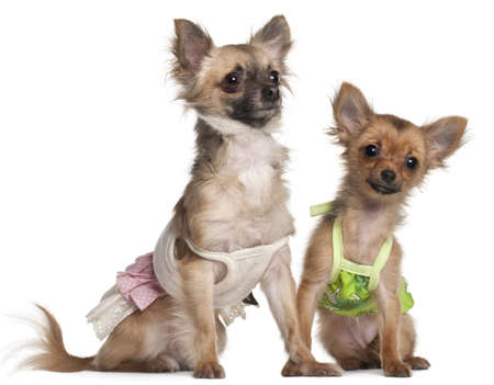 Chihuahua, 19 months old, and Chihuahua puppy, 4 months old, dressed up and sitting in front of white background Stock Photo - 11188808