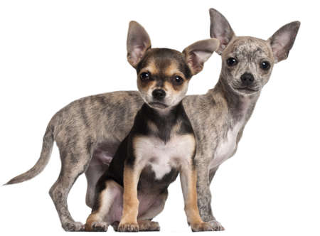 chihuahua 3 months old: Chihuahua puppies, 3 months old, in front of white background