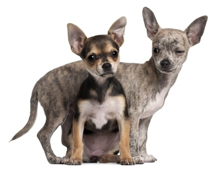 Chihuahua puppies  3 months old
