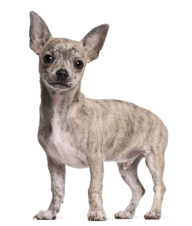 animal themes: Chihuahua puppy, 3 months old, standing in front of white background