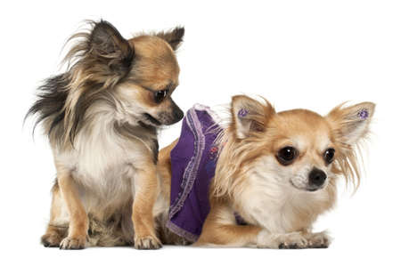 Chihuahuas, 3 years old, in front of white background photo