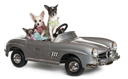 convertible car: Three Chihuahuas sitting in convertible in front of white background Stock Photo