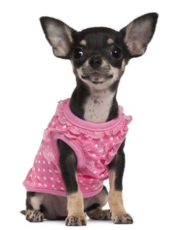 perros vestidos: Chihuahua cachorro vestida de rosa, 4 meses de edad, sentado delante de fondo blanco