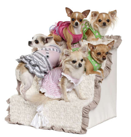 Five Chihuahuas sitting on steps in front of white background