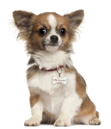 Chihuahua puppy, 6 months old, sitting in front of white background photo