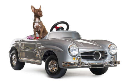 pedigree: Chihuahua puppy, 4 months old, sitting in convertible in front of white background