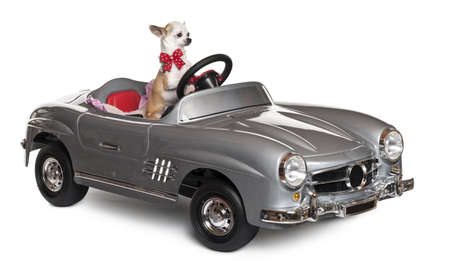 Chihuahua puppy, 6 months old, driving convertible in front of white background photo