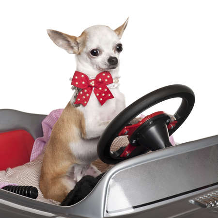 Close-up of Chihuahua puppy, 6 months old, driving convertible in front of white background photo