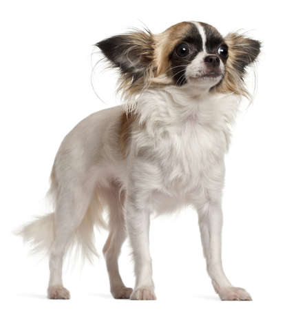 animal themes: Chihuahua, 10 months old, sitting in front of white background