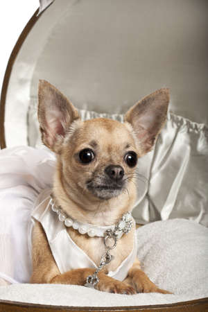 Close-up of Chihuahua in wedding dress, 3 years old, sitting in round luggage in front of white background Stock Photo - 11183238