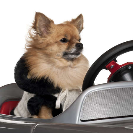 Close-up of Chihuahua driving convertible in front of white background photo