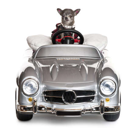 Chihuahua driving a convertible in front of white background Stock Photo - 11188810
