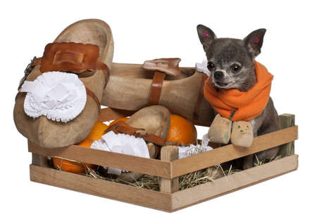 Chihuahua sitting in a Dutch farmer basket in front of white background photo