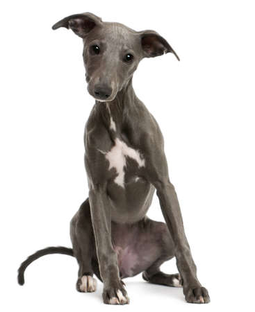 Whippet puppy, 6 months old, sitting in front of white background photo